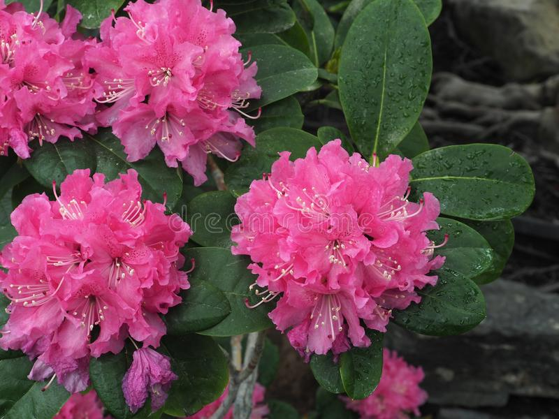 Bright Pink Rhododendron In Bloom In Late Spring stock image