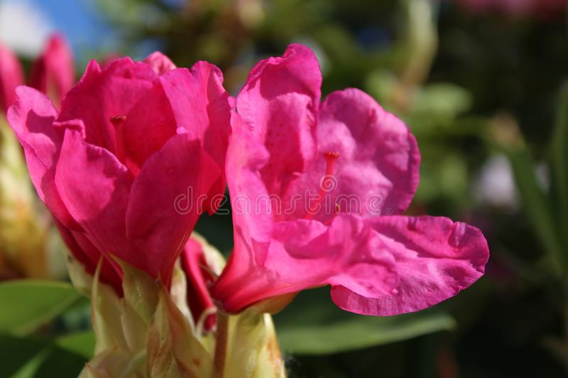 Bright pink rhododendron flowers in bloom royalty free stock photo
