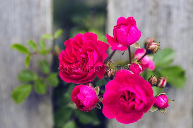 Bright pink rose. On a background of a wooden fence. beautiful wallpaper royalty free stock images