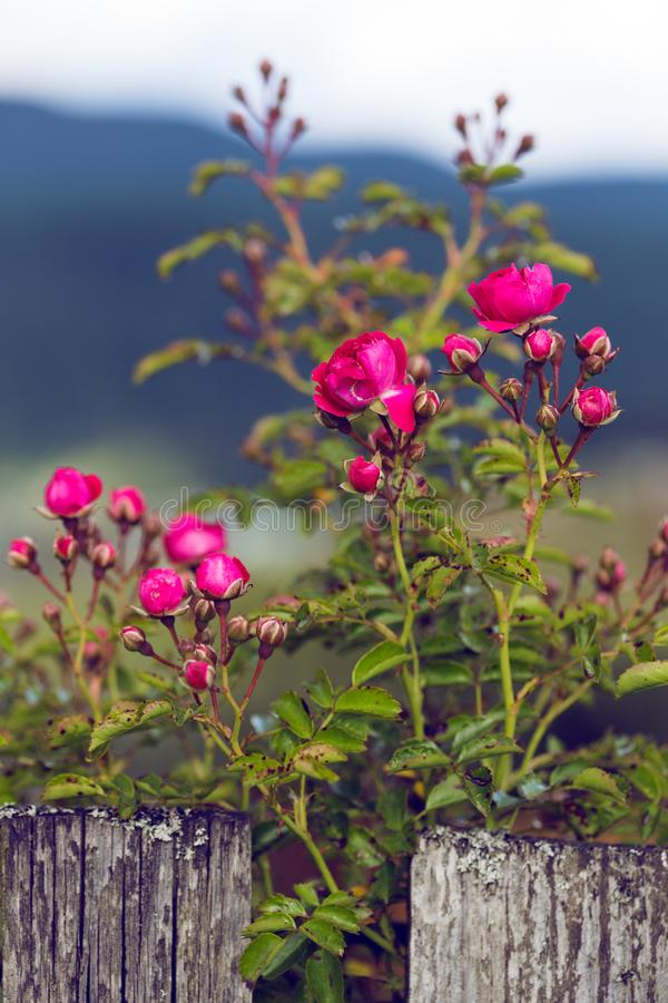 Bright pink rose. On a background of a wooden fence. beautiful wallpaper royalty free stock photos