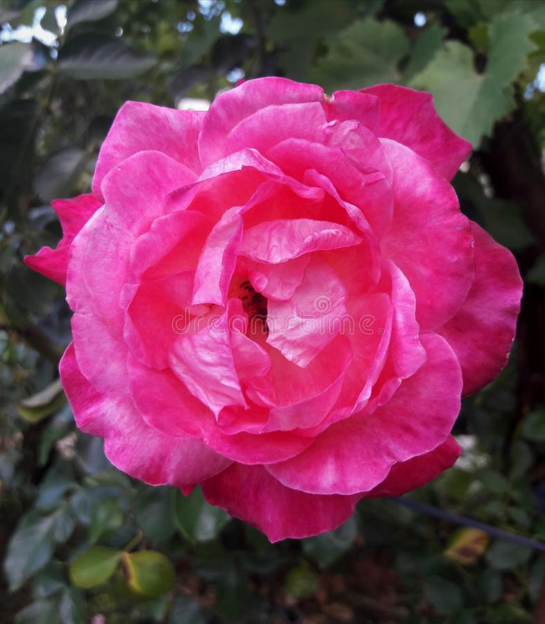 Bright pink rose flower in the garden. Beautiful lush blooming bright pink rose flower in the summer garden royalty free stock images