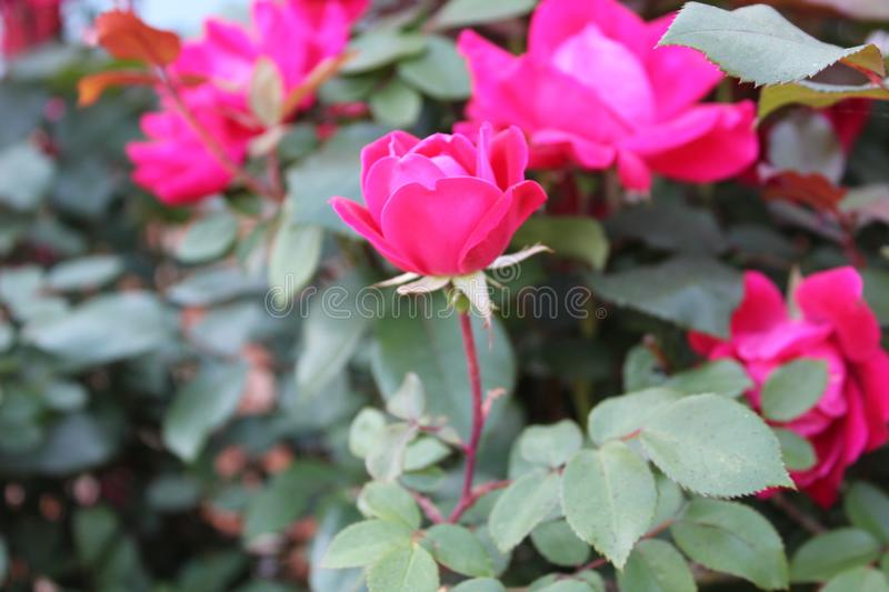 Bright pink rose. Bright pink half open stock photos