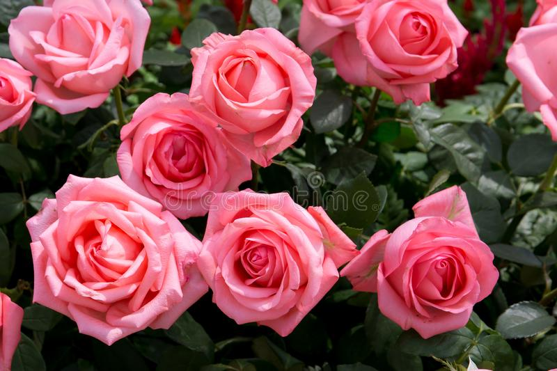 Bright pink roses background. Pink roses background. Pink rose in the garden. Beautiful pink rose in the garden. Pink roses in the park background stock image