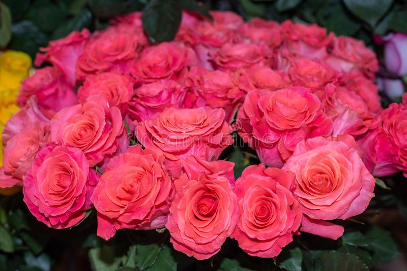Bright pink roses in a flower shop. stock images