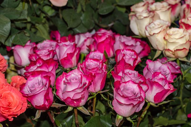Bright pink roses in a flower shop. stock photography