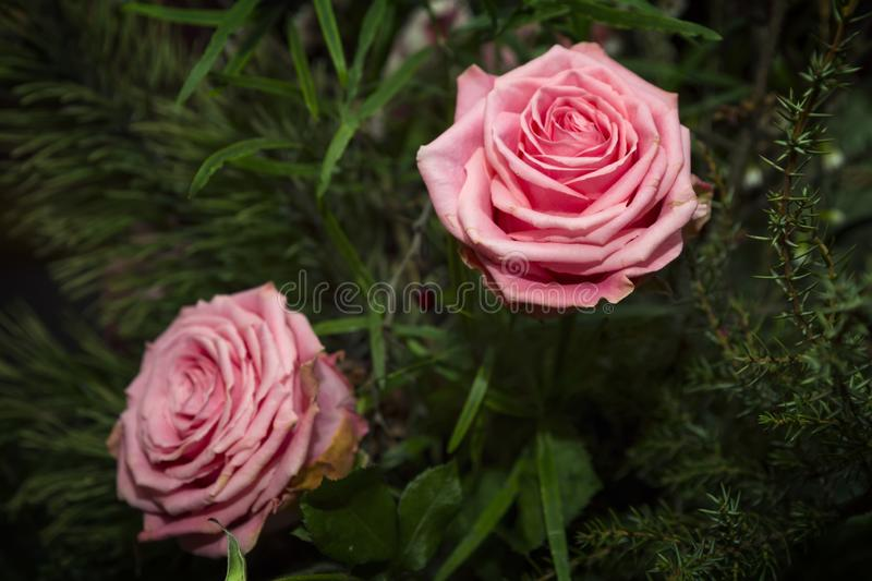 Bright pink roses. On green background stock image
