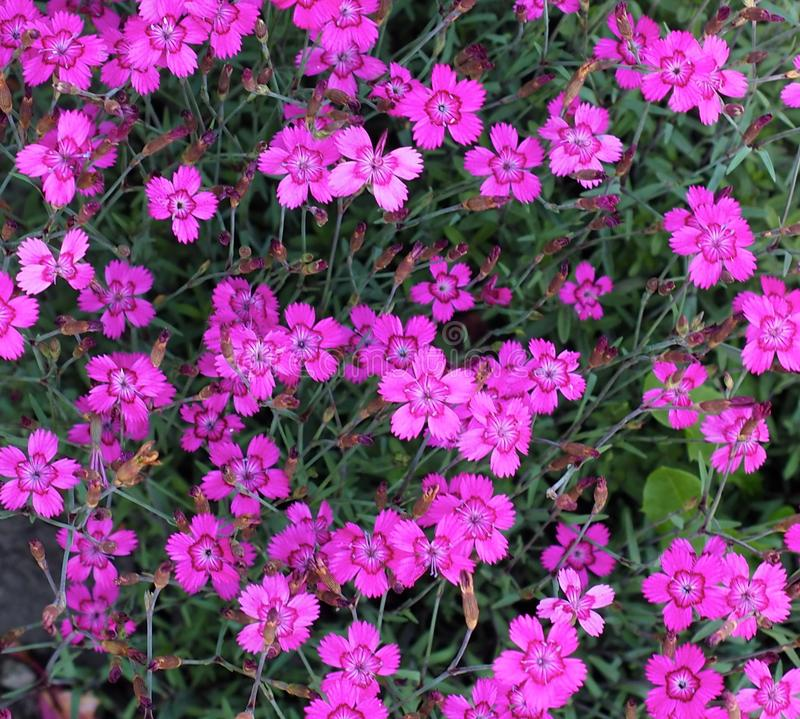 Pink Dianthus. Bright pink with serrated petals Dianthus in bloom in summer stock image