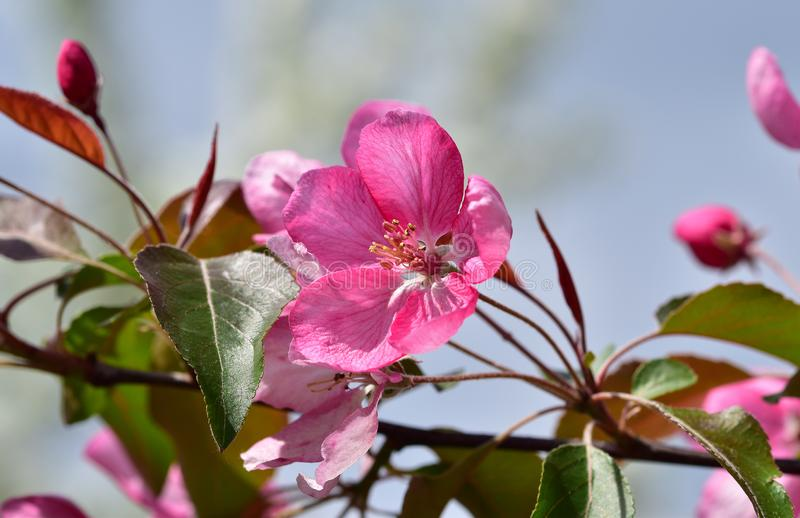 Bright pink spring flower of the fruit tree - garden decorative apple tree. Close up stock photo