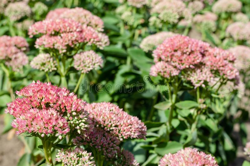 Bright pink Stonecrop or Sedum in bloom with a blurred green background. Bright autumn floral natural background. On a flowerbed on sunny day. Succulent plant stock images