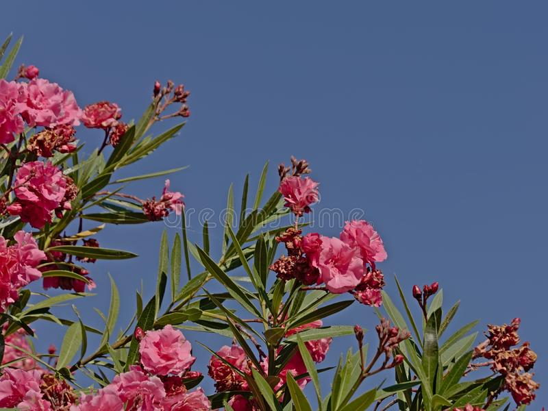 Bright pink sunny oleander flowers against a blue sky. Bright pink sunny oleander flowers and long green leafs against a blue sky - Nerium royalty free stock photos