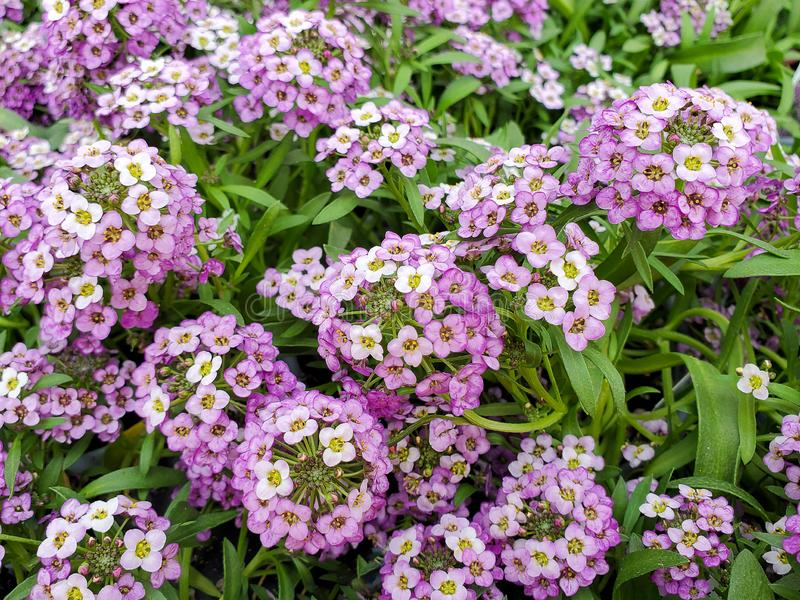 Bright pink sweet alyssum blooming. Close up of bright pink sweet alyssum in garden royalty free stock photo