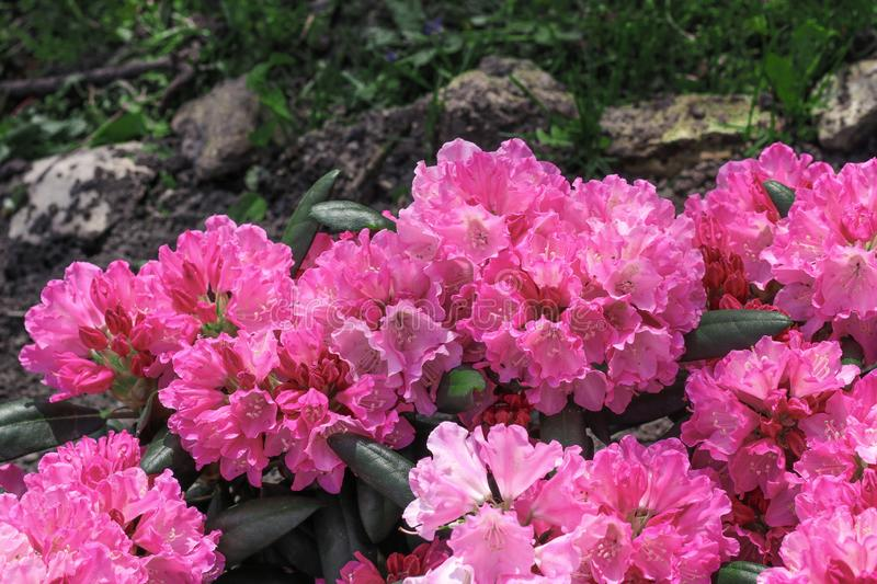 Bright pink tropical flowers close up on background of grass and stones. Nature contrast frech stock images