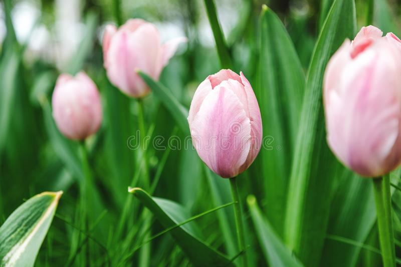 Bright pink tulips, beautiful spring floral background and texture stock image