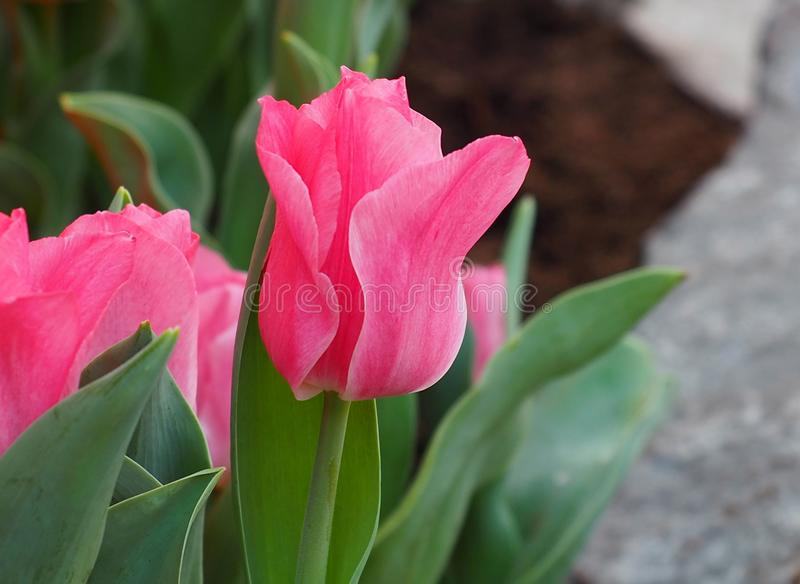 Bright Pink Tulips In Bloom. In greenhouse in spring stock photography