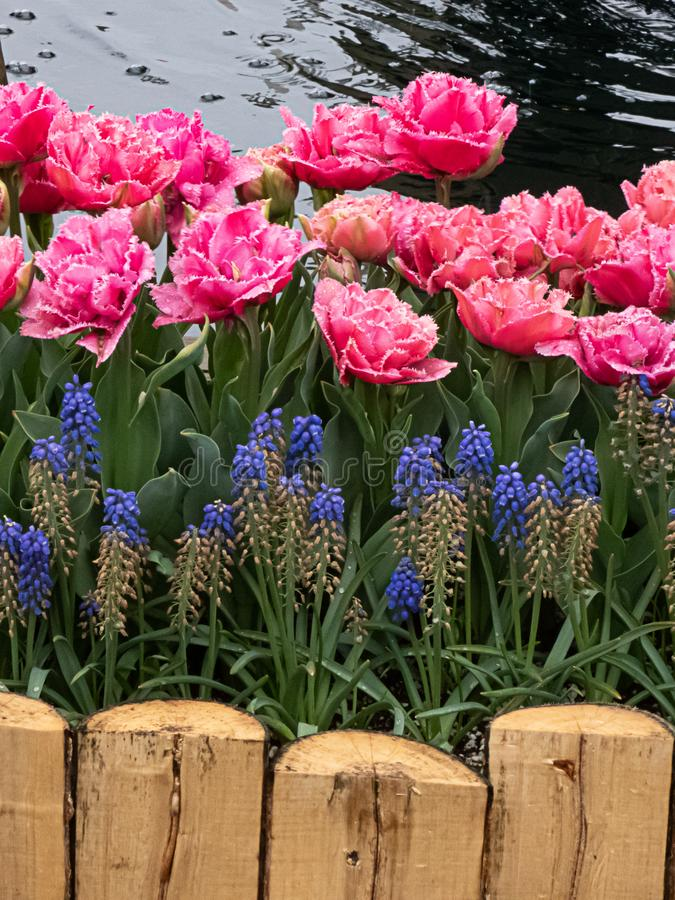 Bright pink tulips in bloom planted in a flowerbed framed in with wooden planks. Bright pink tulips in full bloom planted in a flowerbed framed in with wooden stock images