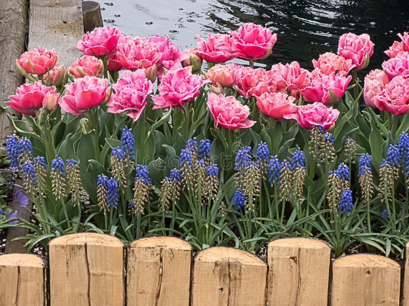 Bright pink tulips in full bloom planted in a flowerbed framed in with planks. Bright pink tulips in full bloom planted in a flowerbed framed in with wooden stock photography