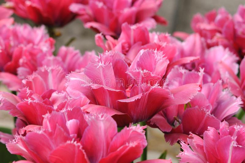 Bright pink tulips Masscotte grade a lawn in the city park. Class Fringed tulips. Close-up view. Bright pink tulips Masscotte grade. Lawn in the city park. Close stock images