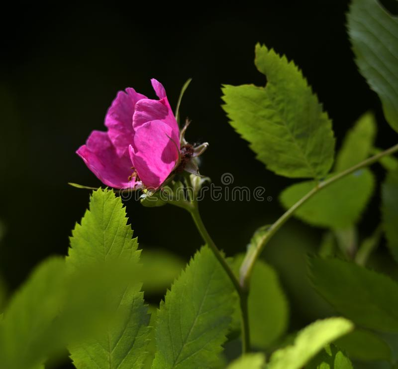 Hot pink rose flower on black background. stock photos