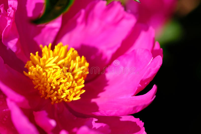 Bright pink with yellow. High quality close up photo of a peony flower: large wide opened blossom with bright pink petals and yellow pistils and stamen. Main stock images