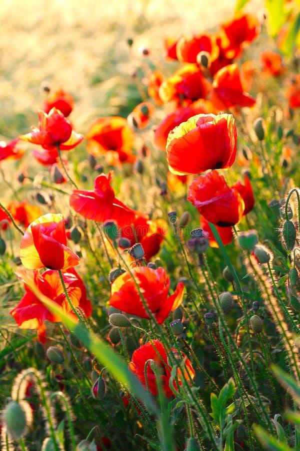 Bright poppies at sunset. stock photo