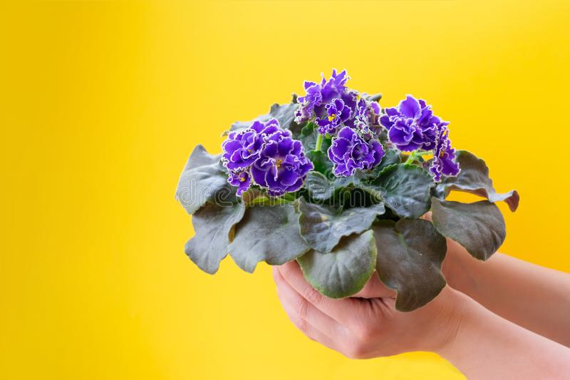 Bright purple African violet flower on young girl`s hands stock photo