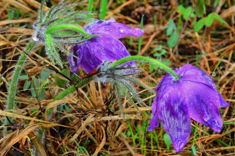 Bright purple flowers of Pulsatilla or pasqueflower on background of grass after rain stock image