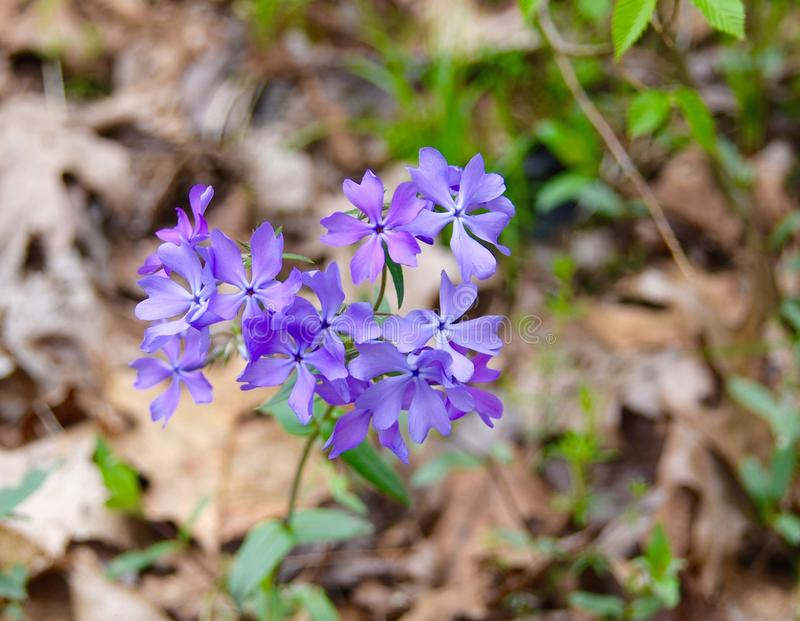 Bright purple flowers of wild woodland phlox in a spring forest. royalty free stock image