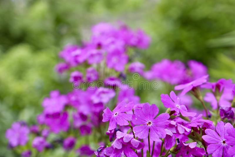 Bright purple gilliflower garden flowers on a blurred backdrop. Template for greeting card, design. Natural abstract background stock photography