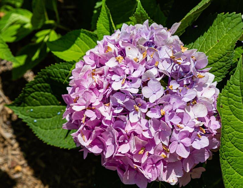 Bright purple hydrangea flower bunch royalty free stock photos