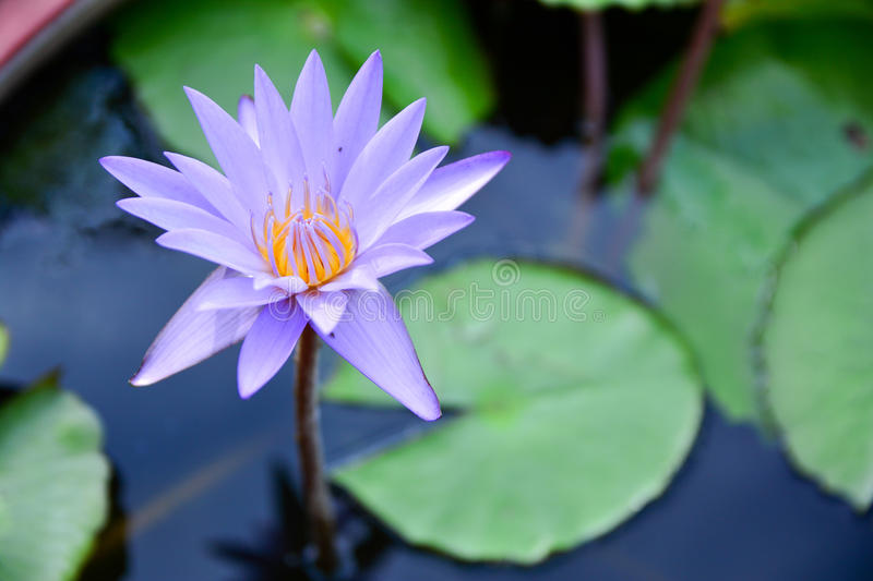 Bright purple lotus blossom. Ciose stock photography