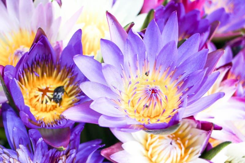 Bright purple lotus flower stock image