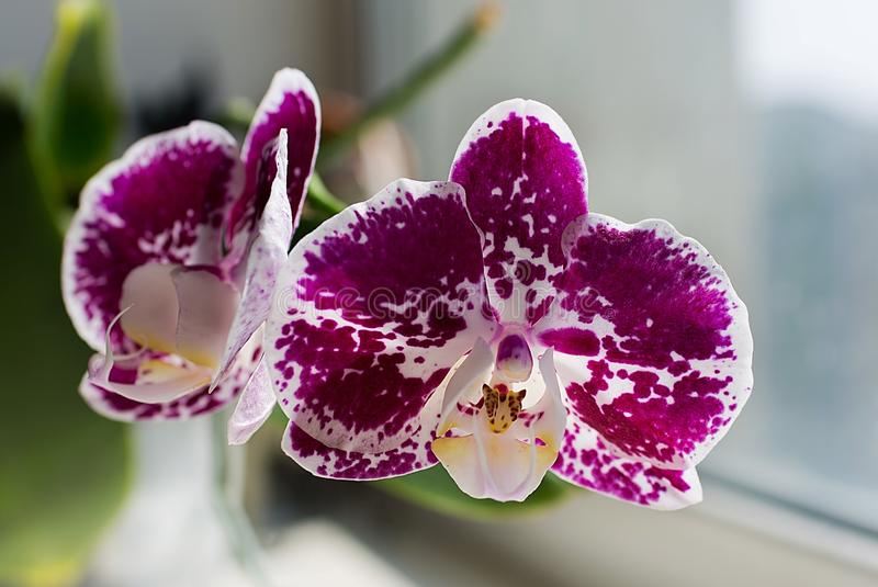 Bright purple orchid with white spot.  royalty free stock photo