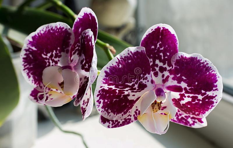 Bright purple orchid with white spot.  stock photography