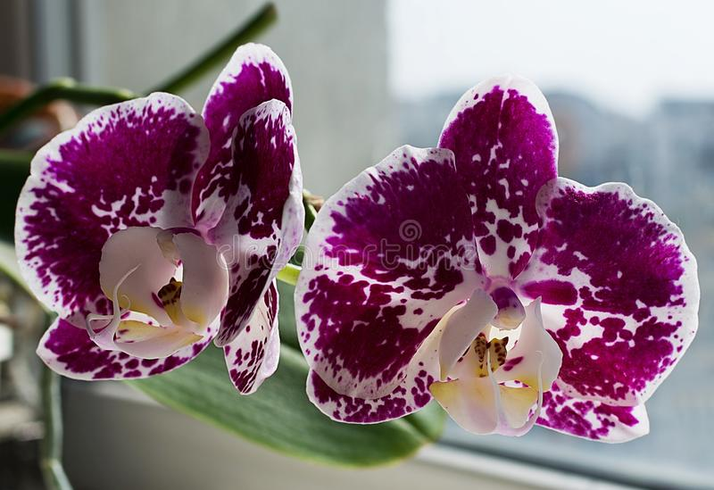 Bright purple orchid with white spot.  stock image