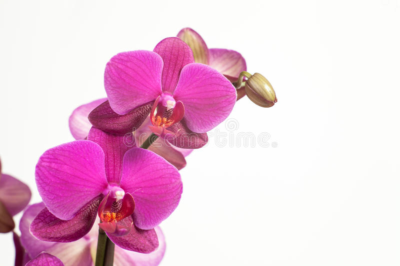 Bright purple, pink orchid on a white background. royalty free stock image