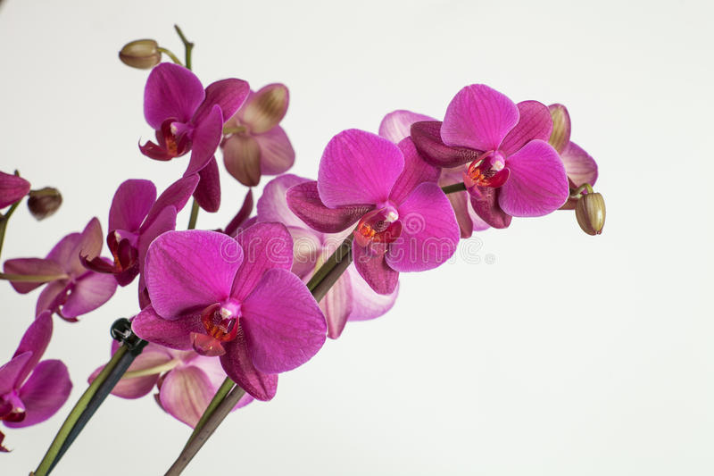 Bright purple, pink orchid on a white background. stock images