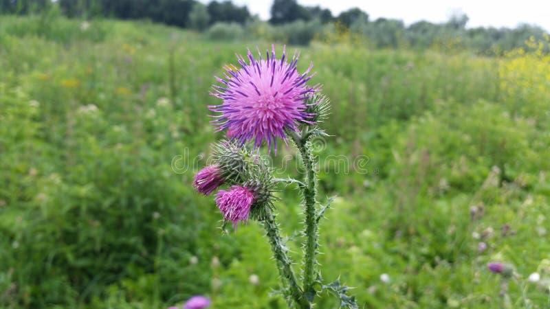 Bright purple spikeflower stock photo