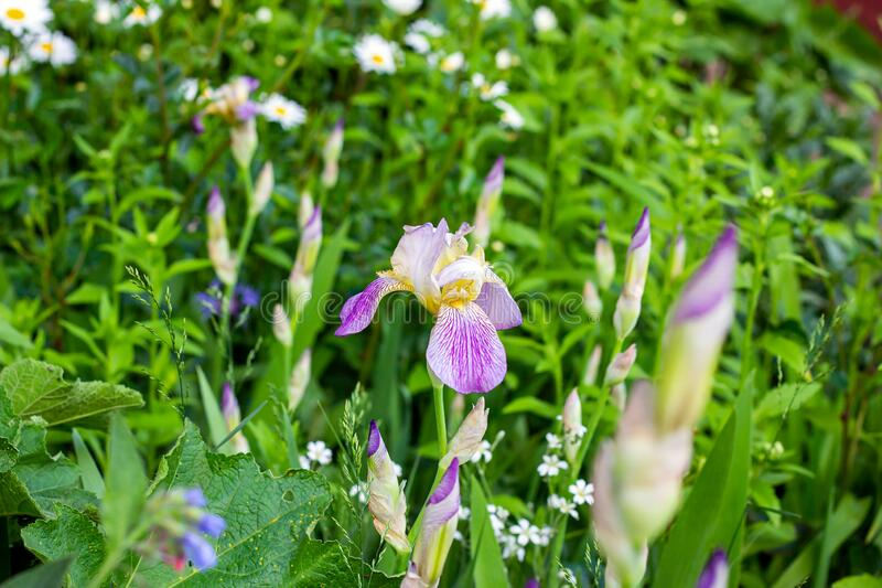 Bright purple, white, blue and violet blooming Iris xiphium Bulbous iris, sibirica flowers on green leaves and grass background stock images