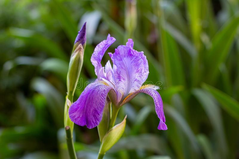 Bright purple, white, blue and violet blooming Iris xiphium Bulbous iris, sibirica on green leaves ang grass background. In the garden in spring and summer royalty free stock photo