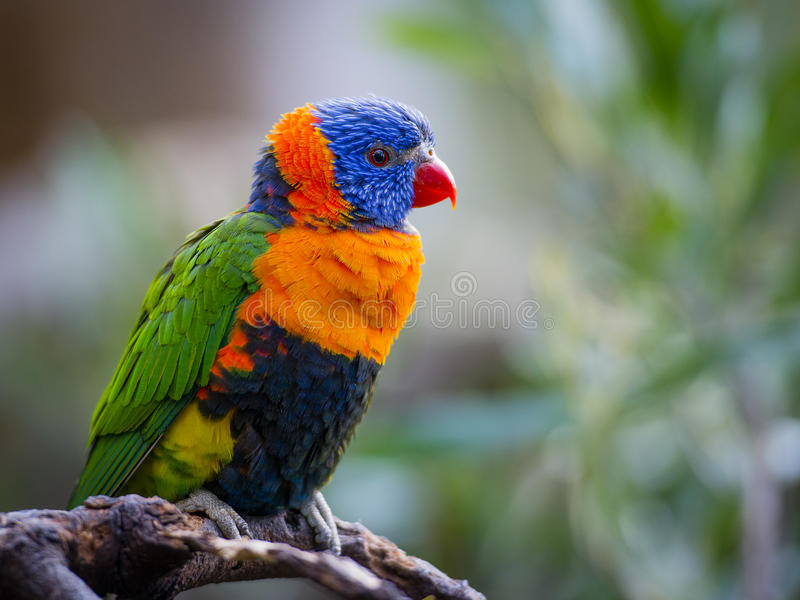 Bright Rainbow Lorikeet parrot. Rainbow Lorikeet (Trichoglossus Haematodus) is a medium-sized parrot, with the length ranging from 25 – 30 cm, including royalty free stock images