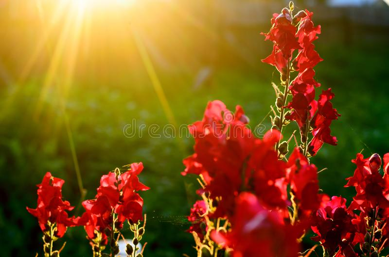 Bright rays of the setting sun at sunset illuminate the red buds of flowers Snapdragon in the garden area. Bright rays of the setting sun at sunset illuminate royalty free stock photo