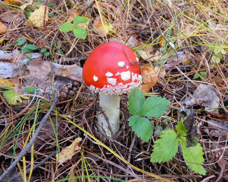 Bright red amanita among fallen leaves and grass stock images