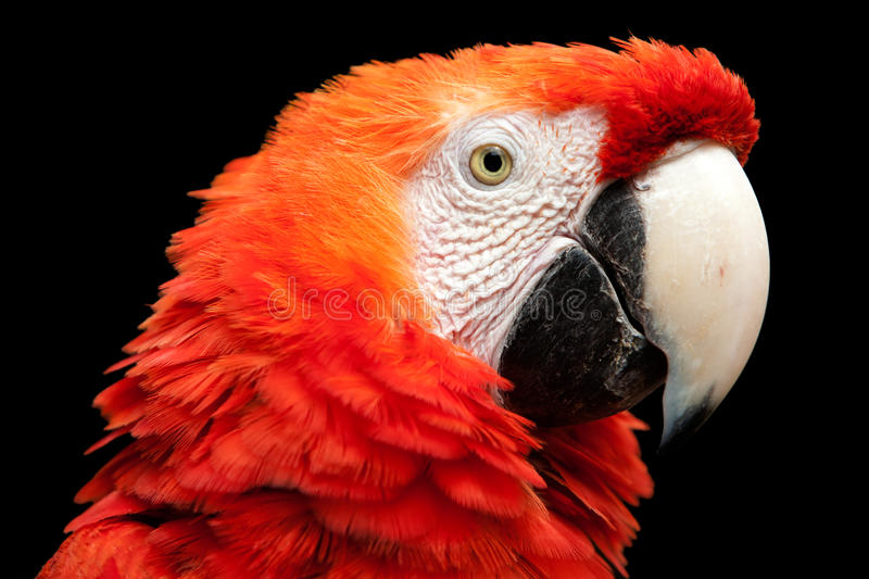 Bright Red Ara Macaw Bird Head Isolated On Black royalty free stock photography