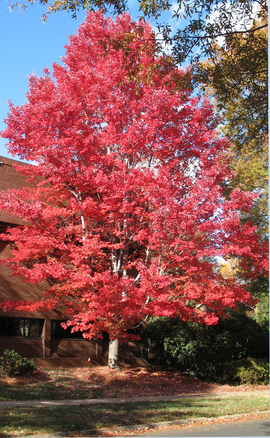 Bright red autumn maple tree stock photography
