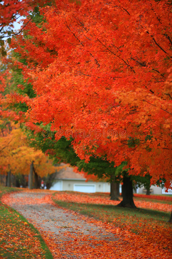 Bright red autumn trees. Autumn colors at its peak royalty free stock image