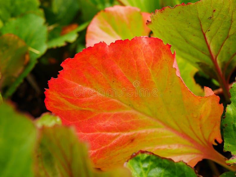 Bright Red Bergenia Leaf immagine stock