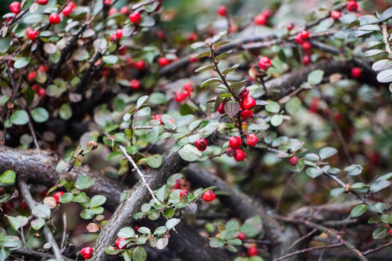 Bright red berries of bearberry cotoneaster Cotoneaster dammeri with green leaves stock image