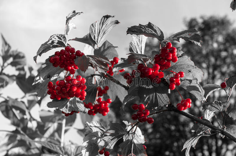 Bright red berries royalty free stock photos