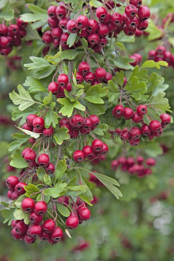 Bright Red Berries on a Hawthorn Hedge royalty free stock photos
