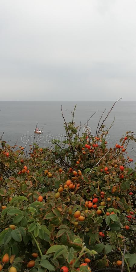 Bright red berries of rose hips on the background of green foliage of a shrub and sea landscape. Romantic, beautiful background g stock photography
